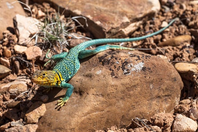 bright yellow and turquoise collared lizard