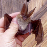 Thompson BE bat species.