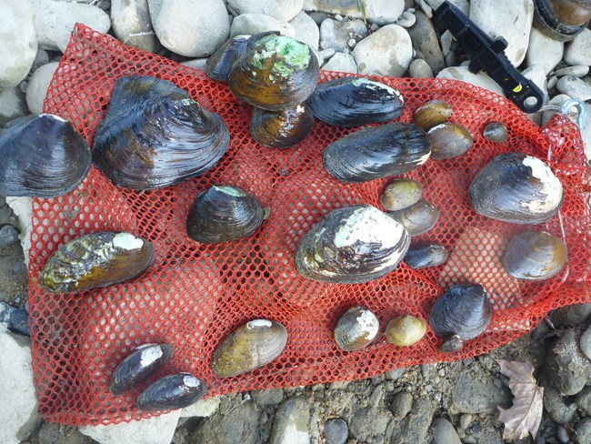 A selection of freshwater mussels on a red net found during monitoring at Big South Fork NRRA.