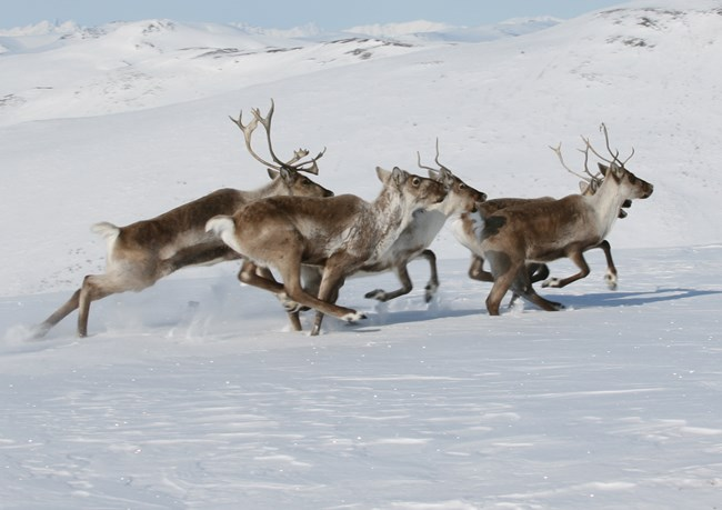 caribou running through the snow