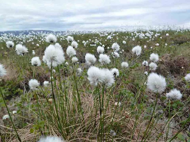 An Arctic meadow of cottongrass.