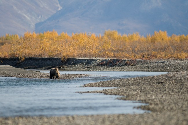 A brown bear drinks from a river in Gates of the Arctic National park and Preserve.