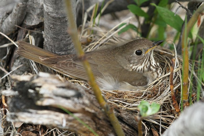 A Gray-cheeked Thrush incubating its nest.
