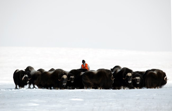 A biologist records the sex and age composition of a herd of muskox.