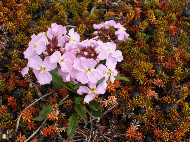 flowers and crowberry