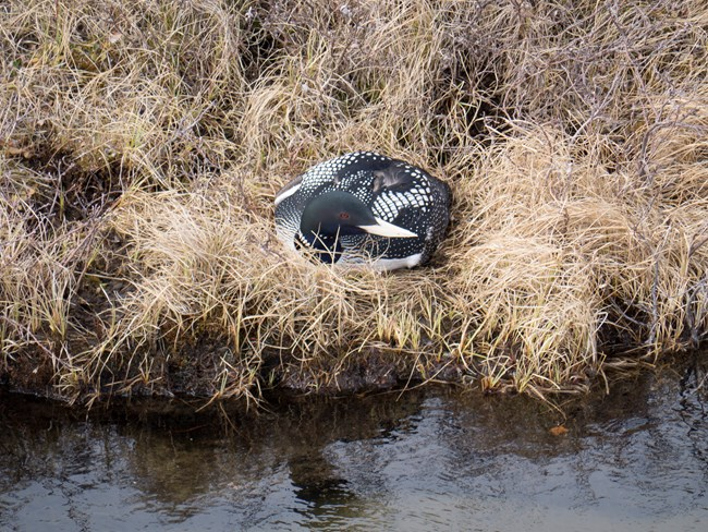 A Yellow-billed Loon on its nest.