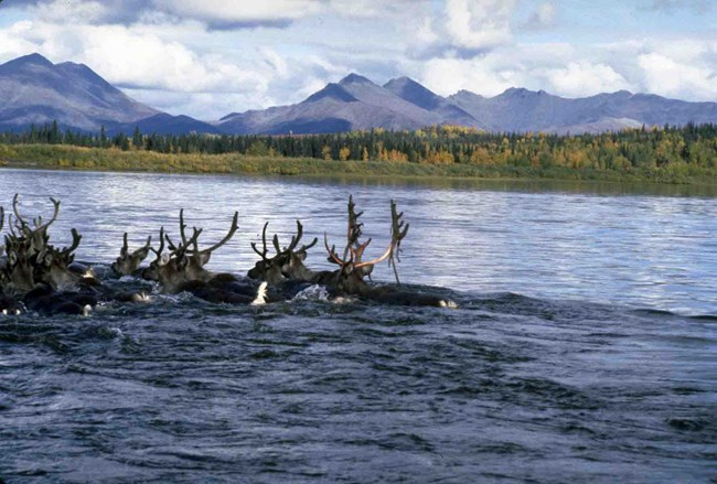 Caribou swimming across a river.