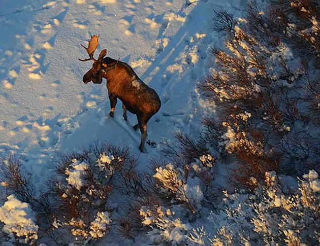 A bull moose in the winter.