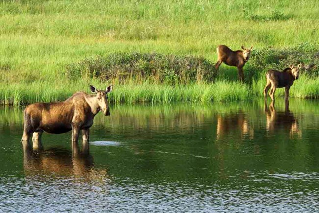 A cow moose and her two calves explore the wetlands.