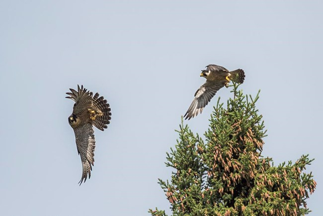 A pair of Peregrine Falcon take flight.