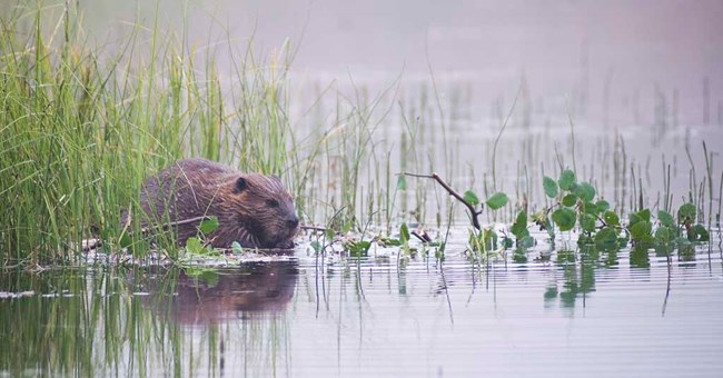 A beaver sits in a pond with green water plants nearby.