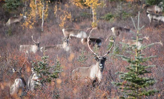 A group of caribou in the fall tundra.
