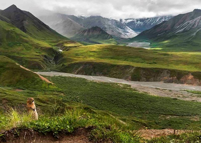 An Arctic ground squirrel enjoys Denali's tundra.