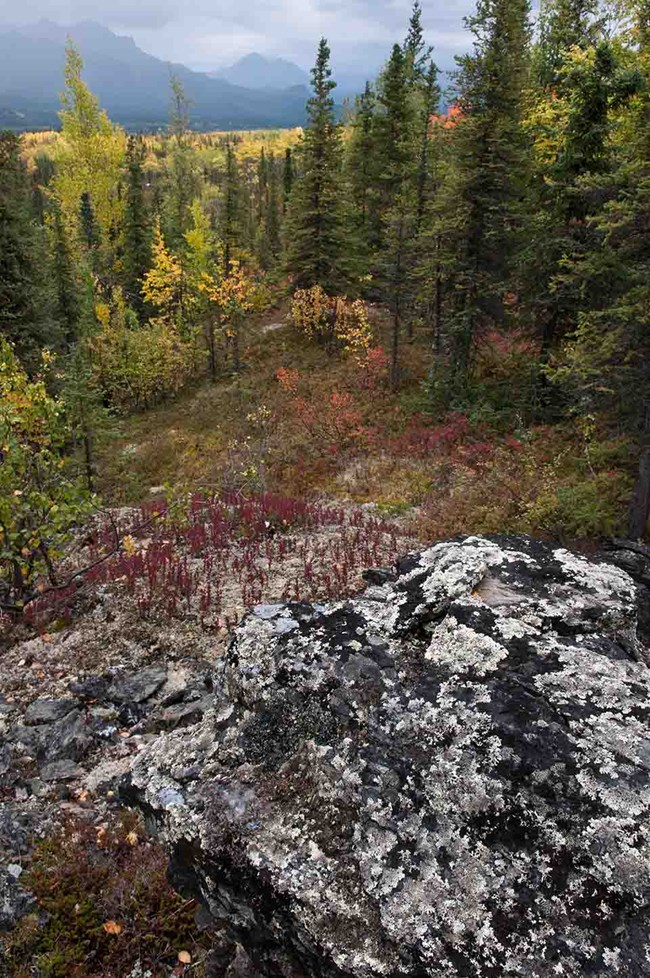 Boreal forest in the fall, Denali National Park