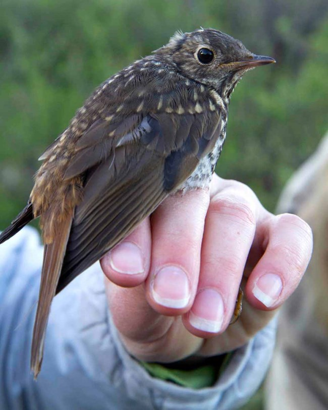 A thrush fitted with a transmitter to track migration.