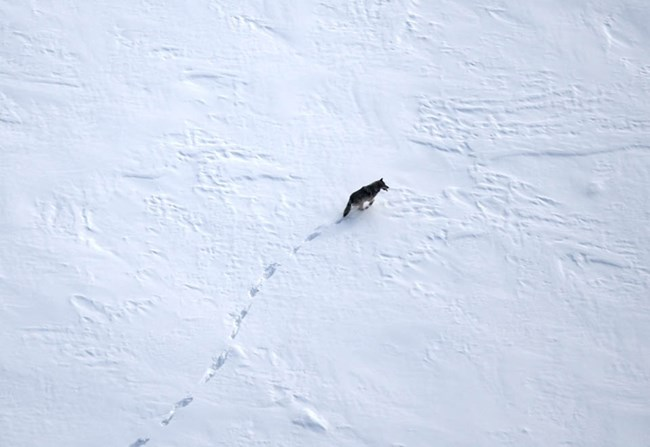 A wolf walking in the snow, aerial image.