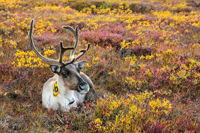 A caribou tagged for monitoring in the fall in WRST.