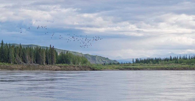 A flock of geese fly over the Yukon River.