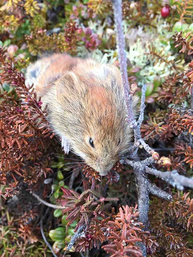 A vole in the tundra.