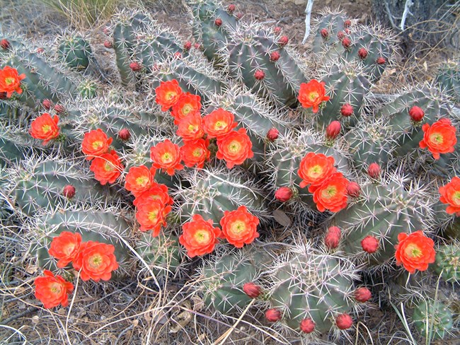 cluster of small cactus with red flowers