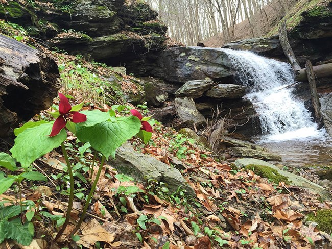 Red trillium flowers blooming on a hill beside a rocky waterfall