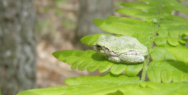 Small frog perched on a fern frond