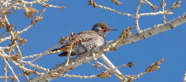 northern flicker in a tree