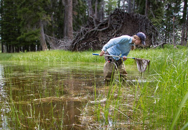 field technician standing in a pond, looking into the contents of a collection net