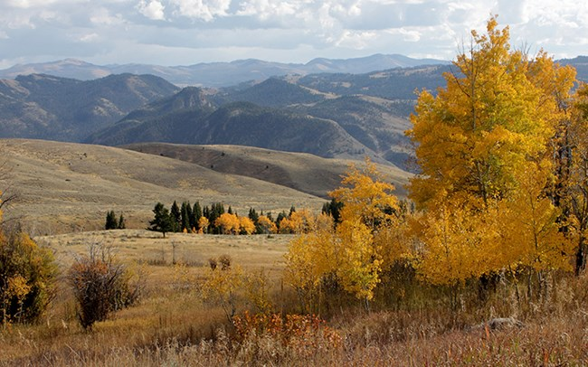 a fall scene with yellow aspen trees in the foreground and brown rolling hills and mountains in the background