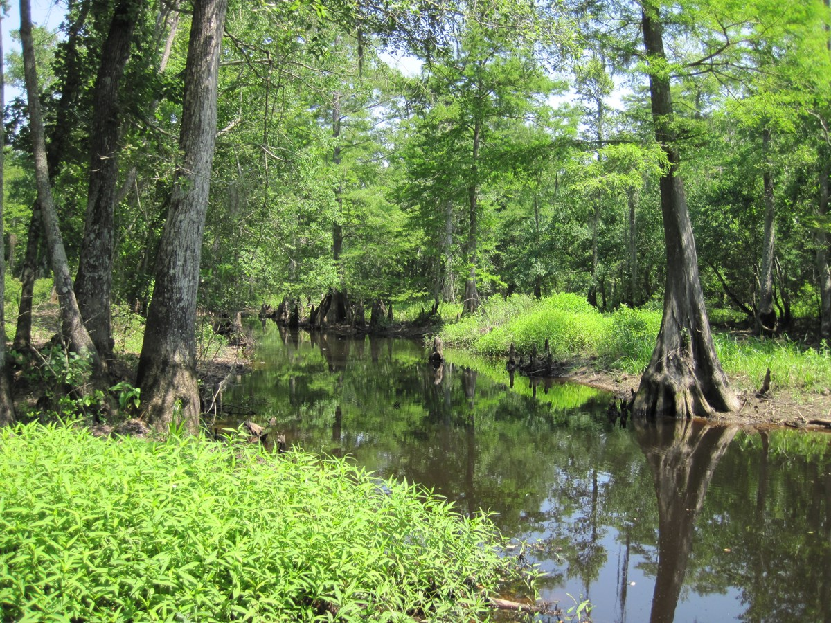 Small bayou with bald cypress trees