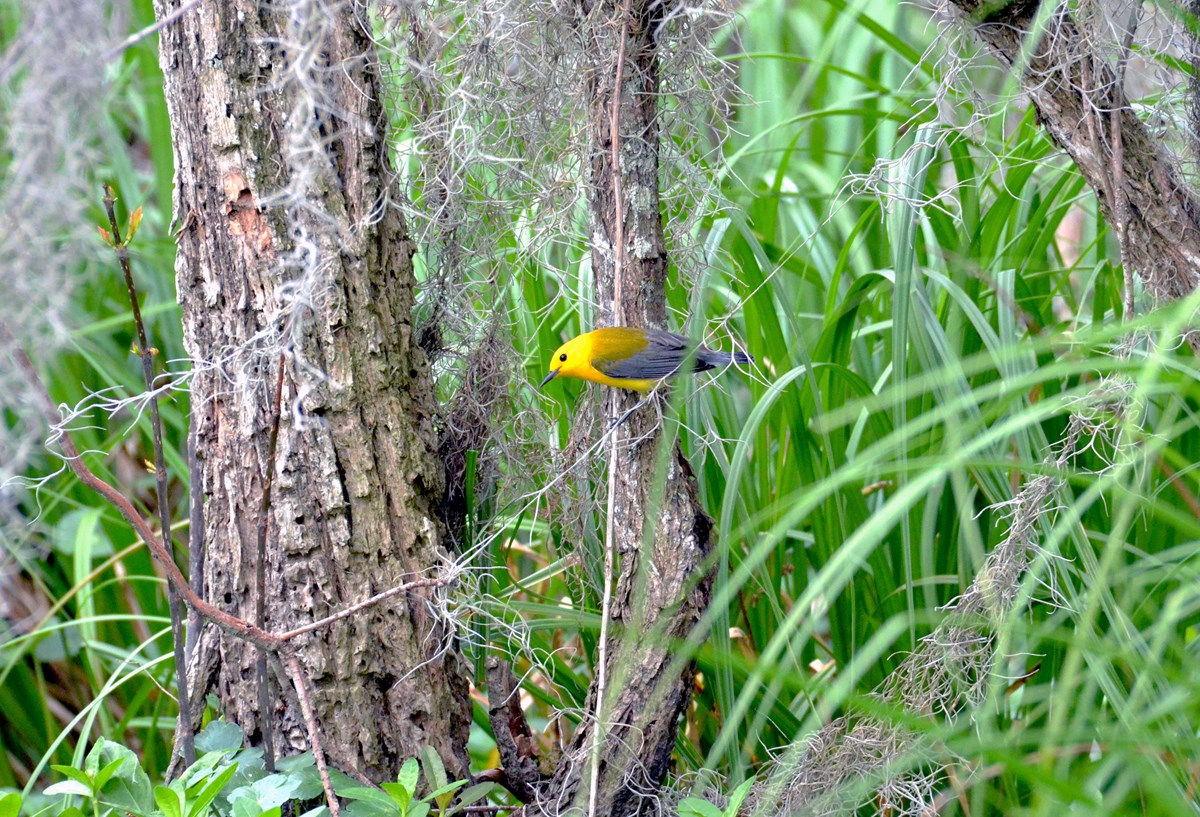 prothonotary warbler on a buttonbush trunk on the edge of the swamp