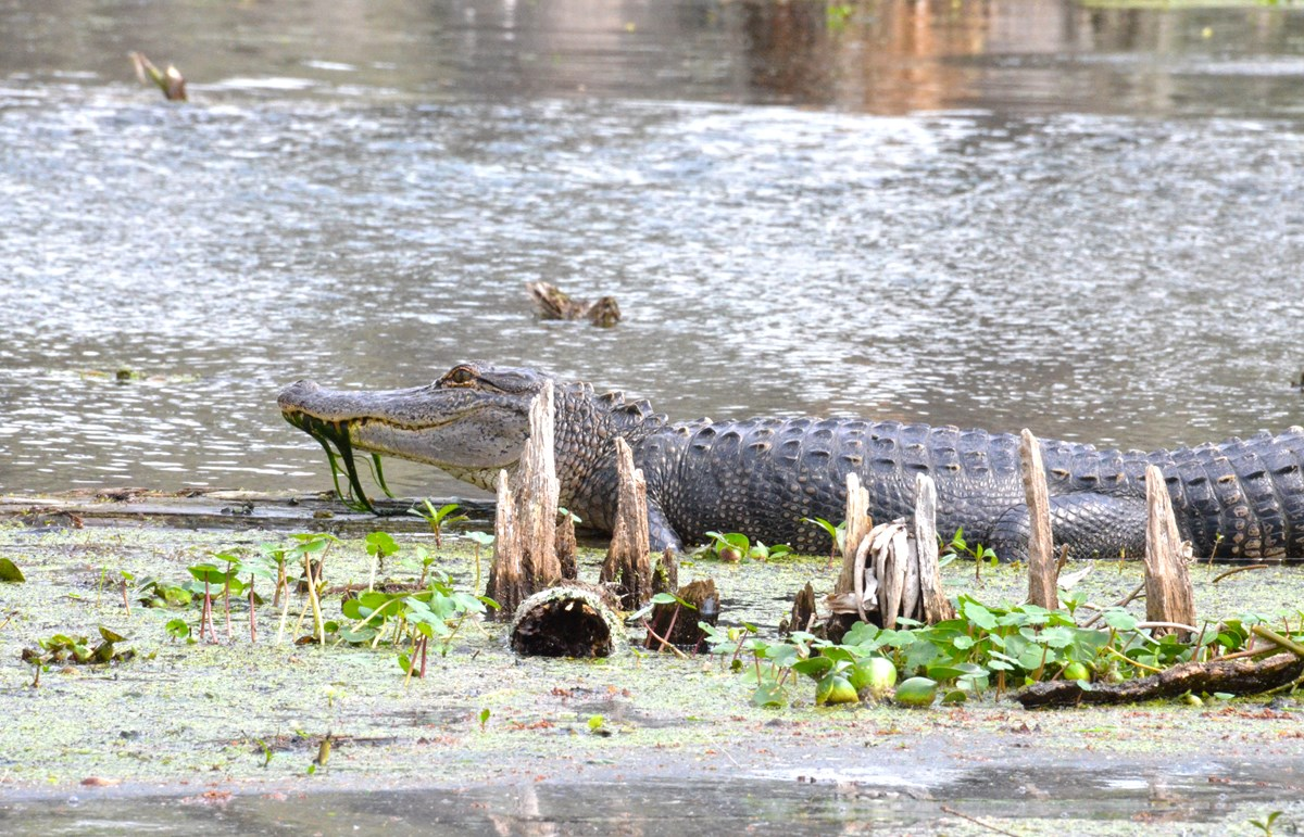 American alligator sunning at the edge of a swamp, as can be seen at Jean Lafitte NHP&P