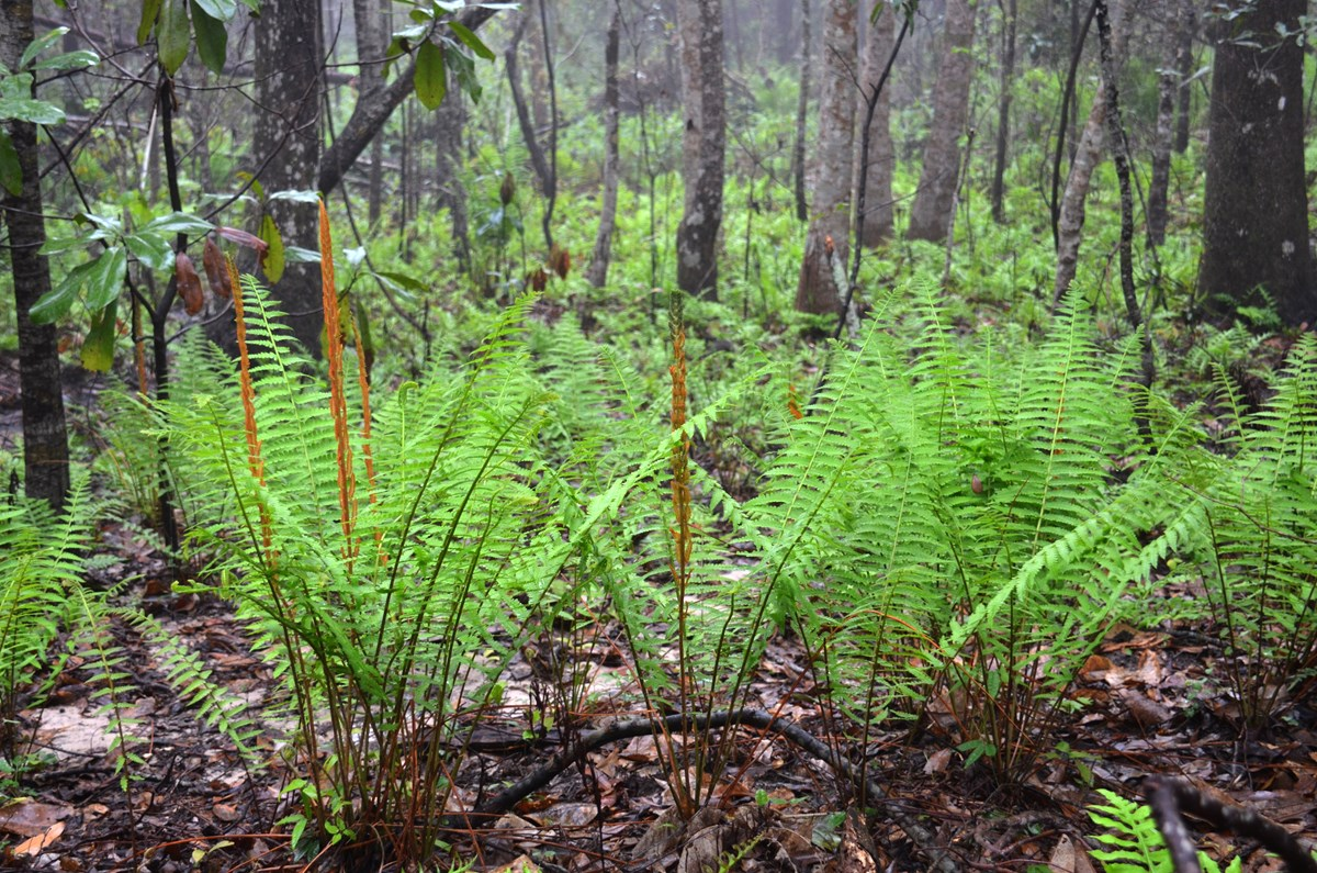 Cinnamon and sensitive fern in a hardwood forest at Davis Bayou