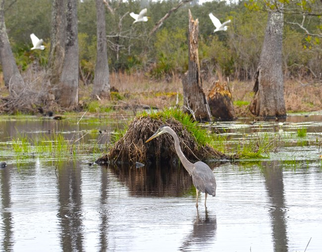 Great blue heron in pond with great egrets in background