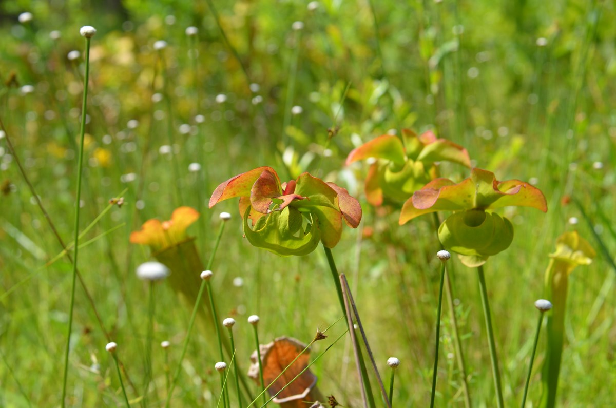Pitcher plant flowers with bog buttons at Big Thicket