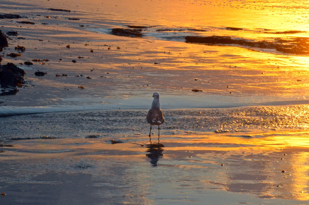 gull on the beach at Gulf Islands National Seashore at sunset