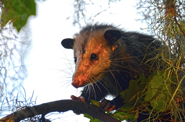 Juvenile opossum in a tree in the swamp