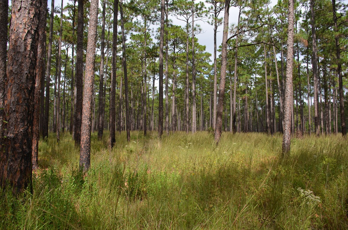 longleaf pine trees with grasses and wildflowers growing beneath them