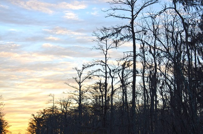 Sunset on the swamp, featuring water tupelo, bald cypress and Spanish moss.  This habitat can be seen at big thicket NP and Jean Lafitte NHP&P.