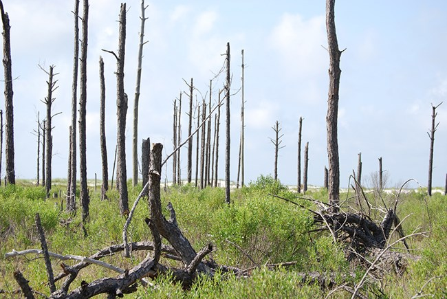 Over the past several decades, storm surges from hurricanes have killed many of the pine trees on the Mississippi islands in Gulf Islands National Seashore