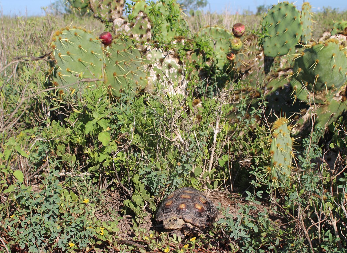 Texas tortoise in its habitat, which includes prickly pear, creeping mesquite, purslane and maytenus