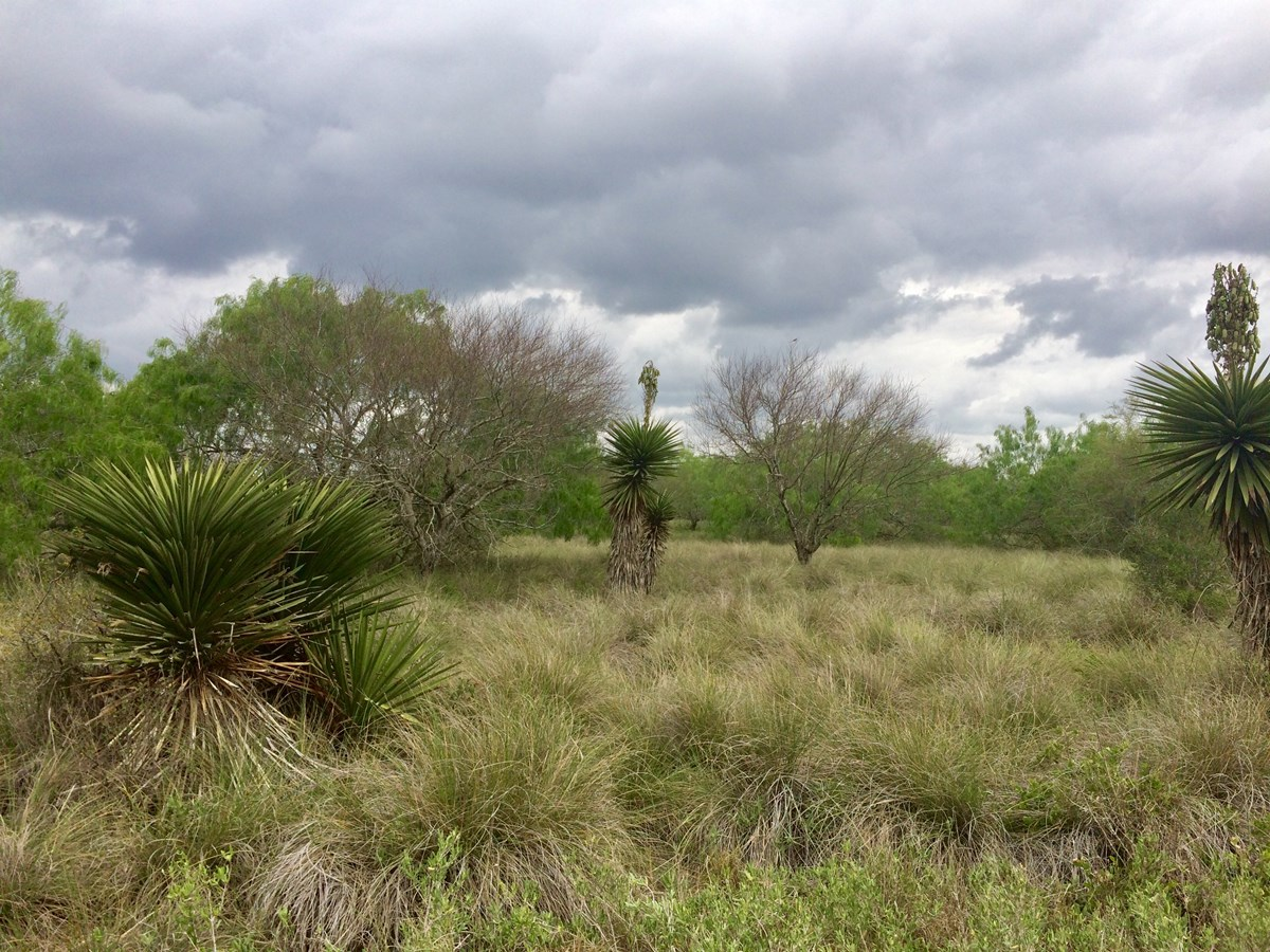 view of a salt prairie grassland transitioning into Tamaulipan thornscrub