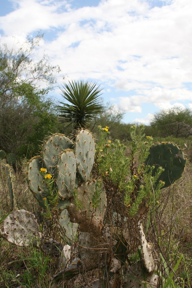 Prickly pear yucca and camphor daisy