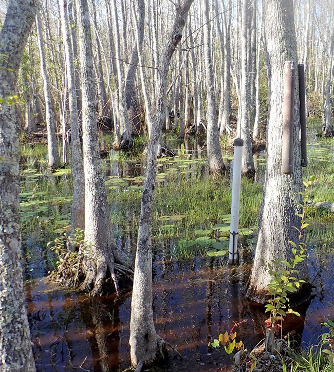 two PVC pipes hung chest high on a swamp tupelo tree, growing in standing water