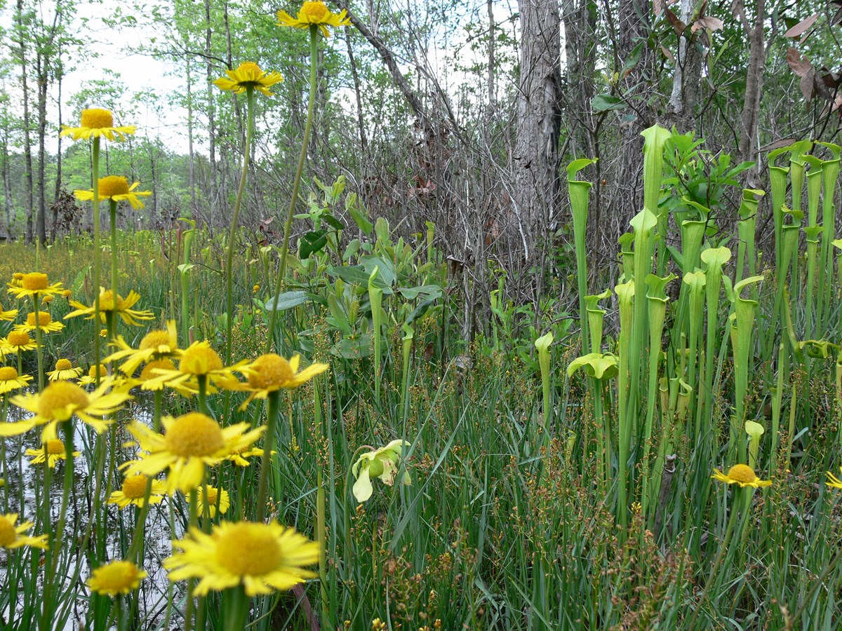Pitcher plants and wildflowers at Big Thicket