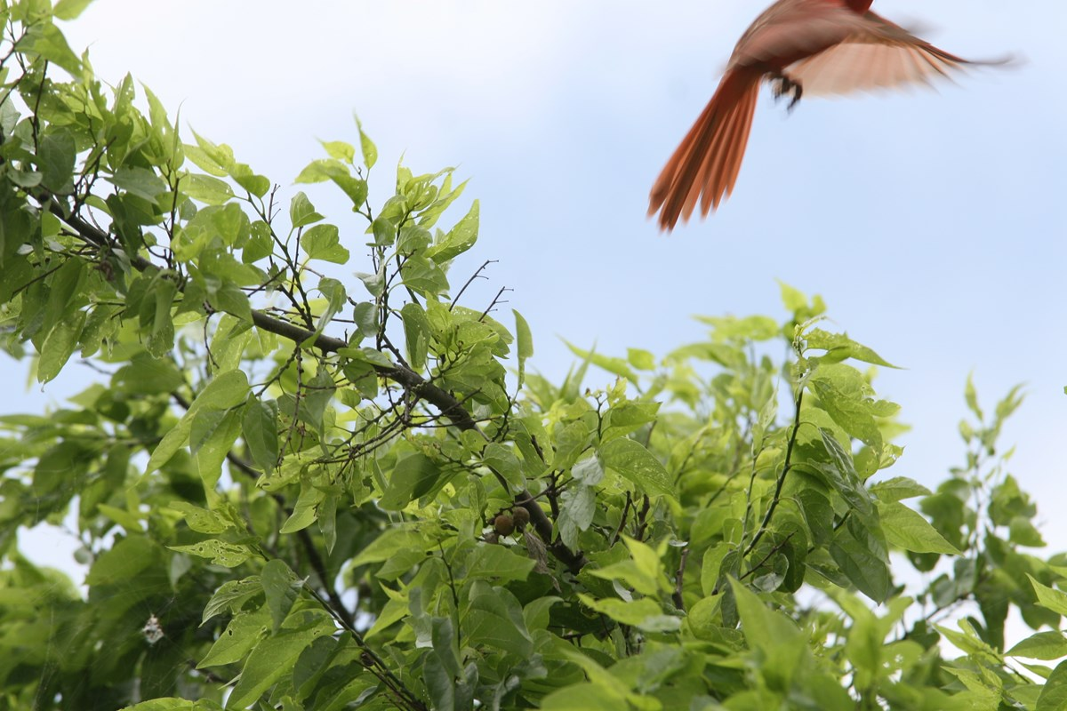 Cardinal departs from a sugarberry tree at San Antonio Missions NHP