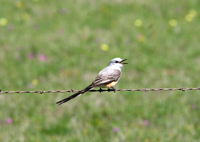 Scissor-tailed Flycatcher on fence at San Antonio Missions NHP