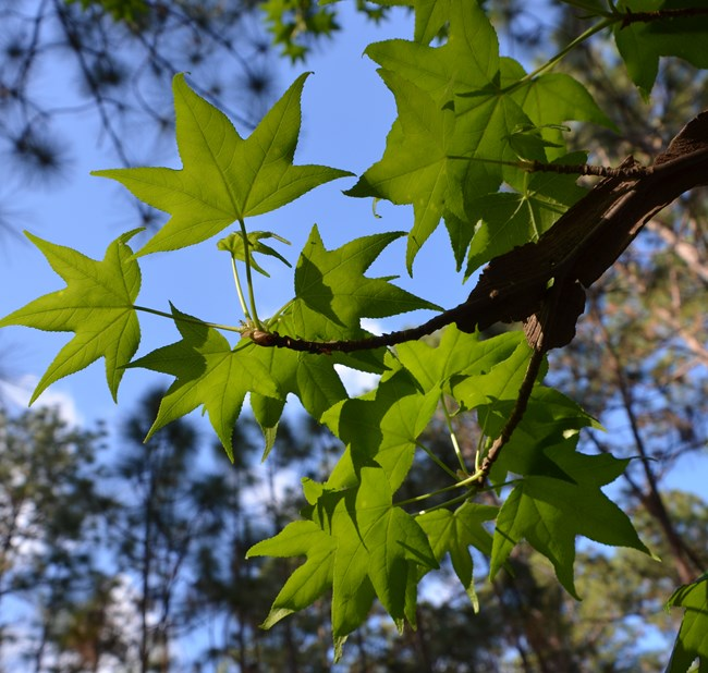 Sweetgum branch with leaves