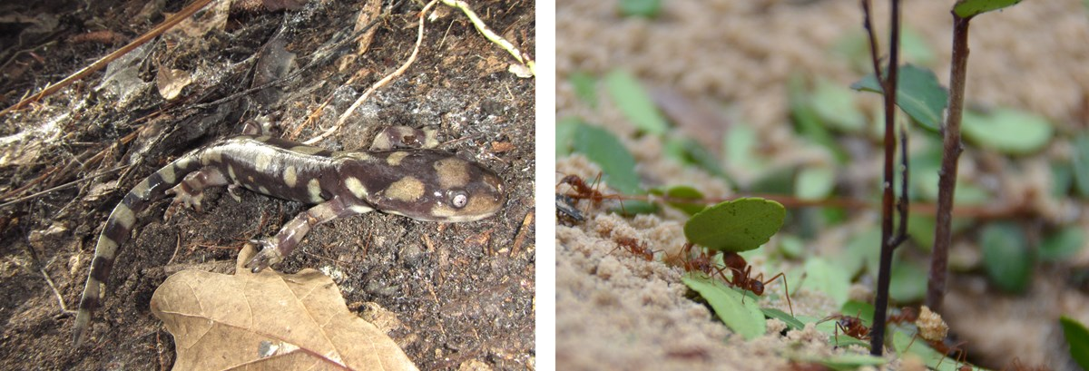 A tiger salamander on the left and leaf-cutter ants on the right