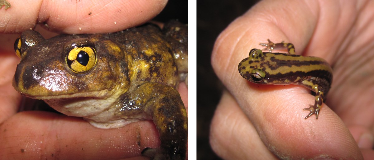 two images: one is an eastern spadefoot toad facing the camera and held in the hand. The other image is a salamander also being held in the hand